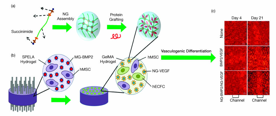 Recent Advances in Hydrogels for Tissue Engineering   AIChE