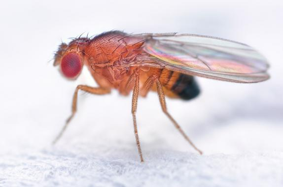 Magnified view of the Drosophila melanogaster fruit fly